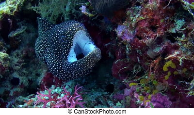 Large Black Spotted moray eel sitting on reef.