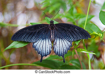 Large black swallowtail butterfly on green leaf