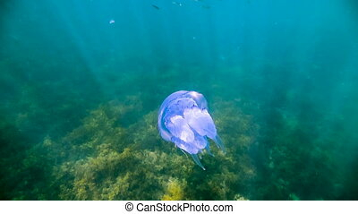 Large blue jellyfish on water - a little big blue jellyfish...
