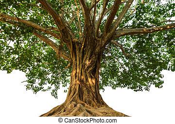 Large Bodhi tree