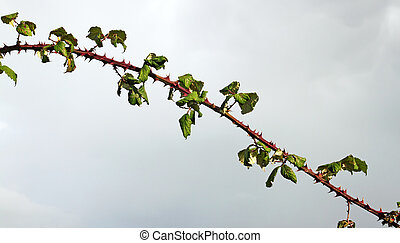 Large bramble thorn stalk with sharp spikes.