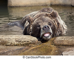 Large Brown Bear in a