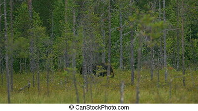 Large brown bear walking free in the dense forest - Large...