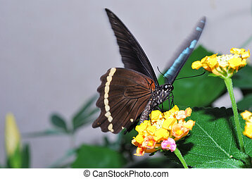 brown butterfly on yellow flowers