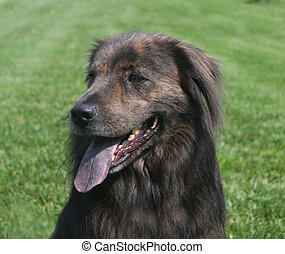 Large brown dog panting