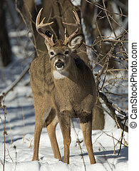 Large Buck - A large buck on cold winter day