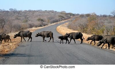 Large Buffalo Herd Crossing a Road