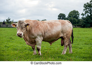 Large bull in a field
