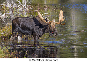 Large Bull Moose Feeding on Water Lilies in Autumn