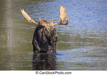 Large Bull Moose Foraging at the Edge of a Lake in Autumn