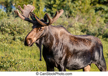 Large Bull Moose in Summer Velvet - Large bull moose walking...