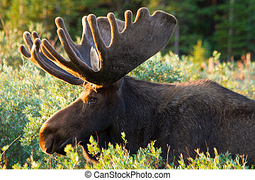 Large Bull Moose in Summer Velvet - Profile of large bull...