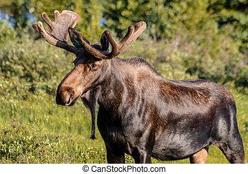 Large Bull Moose in Summer Velvet - Large bull moose walking...
