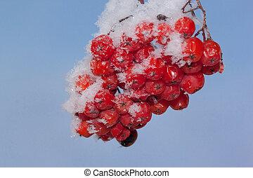 Large bunch of mountain ash covered with snow and hoarfrost on the blue sky background. Close up.