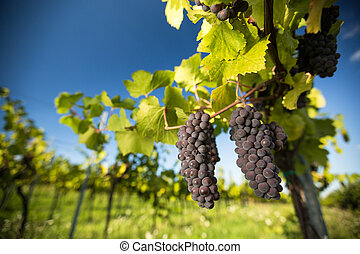 Large bunches of red wine grapes