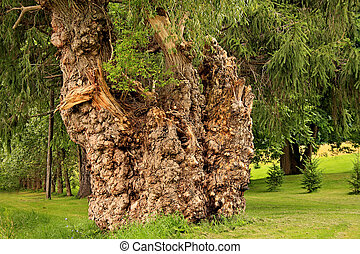 Large willow tree covered with burls.