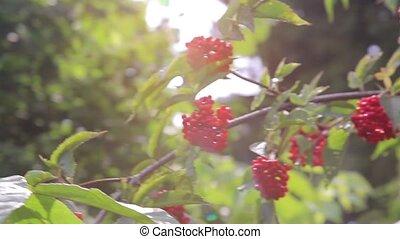 Large Bush of medicinal red forest viburnum 1920x1080