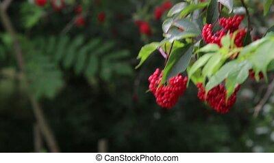 Large Bush of medicinal red forest viburnum