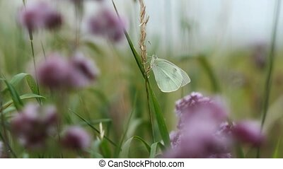 Large Cabbage White between grasses and Oregano - makro shot