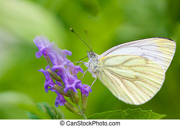Large Cabbage White butterfly on lavender