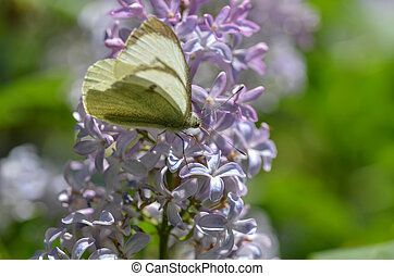 Large Cabbage White (Pieris brassicae) is resting on lilac...