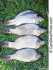 Large carp on the grass