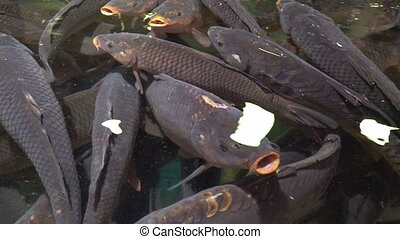 Large carp on the surface of the water in the aquarium shops