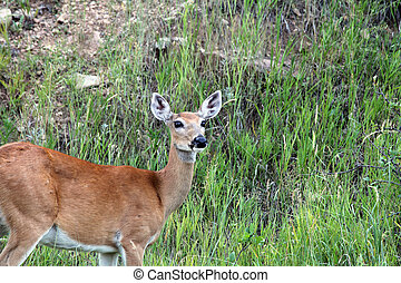 large, cerf, observé, whietail