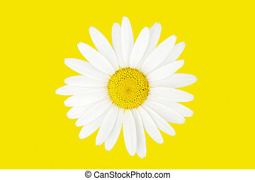 Large chamomile over yellow background. Top view isolatad on...