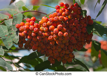 large cluster of berries