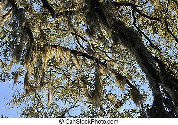 Large clusters of Spanish moss hanging from branches of tree