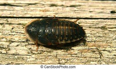 cockroach - large cockroach close up