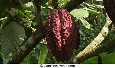 Large Cocoa Pod Hanging From Branch - Steady, close up of a...