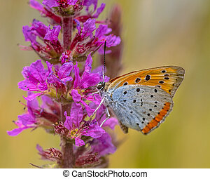 Large copper butterfly drinking nectar - Large copper...