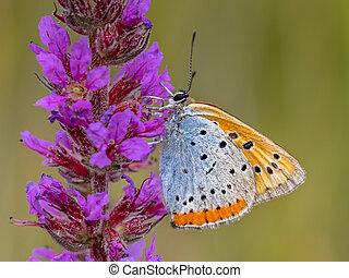 Large copper butterfly on purple flower - Large copper...