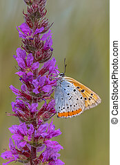 Large copper butterfly on purple loosestrife flower - Large...