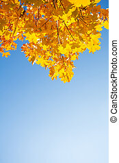 Large copy space and autumn maple leaves