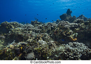 Large coral reef - Hugh coral reef near the surface of the...