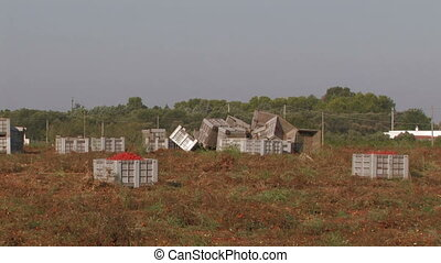 Large crates of tomatoes