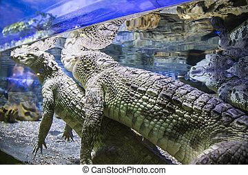 Large crocodiles under water, closeup