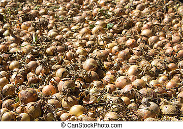 large crop of onions