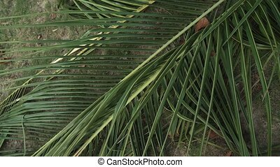 Large cut palm leaf on the lawn in tropical park stock footage video
