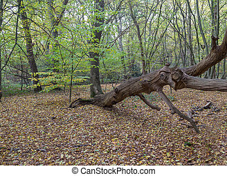 Large dead fallen branch in the forest