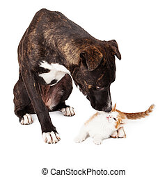 Large dog Sniffing Kitten