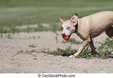 Large dog with ball at a beach