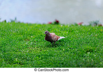 large dove in the Park on green grass