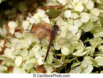 Large dragonfly on a flower