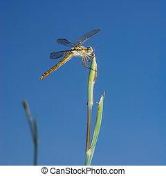 Large dragonfly on stem