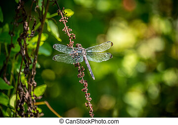 Large dragonfly perched