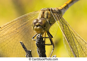 Large dragonfly sits on a  branch